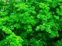 Parsley greens. Dandelion Mariuhanna hemp plant green Blackberry  berry  nature  leaves  bushes  biology nature  plant  spring summer Royalty Free Stock Photography