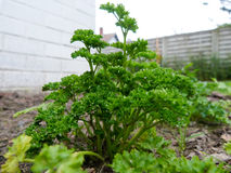 Parsley in the ground. Fresh parsley in the ground Stock Photography