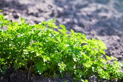 Parsley growing at a farm. stock images