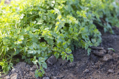 Parsley growing in a garden Stock Photos