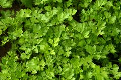 Parsley growing in the garden. Petroselinum. Close-up parsley leaves. Growing herbs royalty free stock photo
