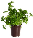 Parsley growing in a pot. A flowerpot containing fresh English parsley seedlings, isolated on a white background stock photo