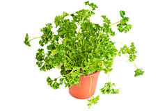 Parsley growing in pot Stock Photos