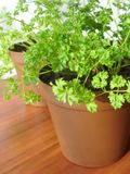 Parsley growing in pot Stock Photo
