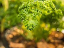 Parsley Growing in The  Pot Stock Photos