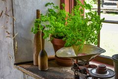 Parsley Growing in Pot on a Kitchen Window Sill Stock Photos