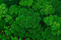 Parsley growth Royalty Free Stock Photography