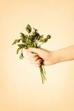 Parsley in hand. Stock Photography