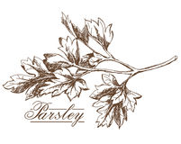 Parsley hand drawing Royalty Free Stock Photos