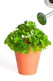 Parsley Herb Stock Images