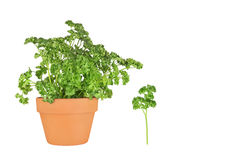 Parsley Herb. Growing in a terracotta pot with leaf sprig, over white background stock photo