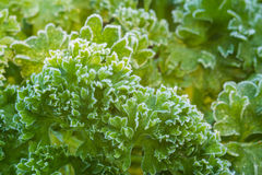 Parsley Herb Frosted Stock Photos