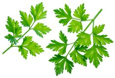 Free Parsley Herb. Isolated On White Background Stock Photos - 141794093