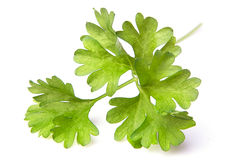 Parsley herb Stock Photo