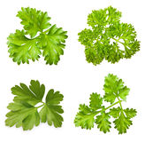 Parsley herb isolated. On white background stock image