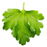 Parsley herb isolated Stock Photography