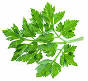 Parsley herb isolated on the white background. Royalty Free Stock Photo