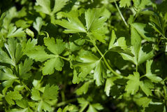 Parsley herb leaves 1. Parsley herb leaves, can be used as a background Stock Image