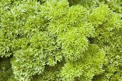 Parsley Herb Plant (Petroselinum crispum). Used in cooking and herbal medicine Stock Images