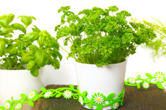Parsley, herbs pots Stock Photography