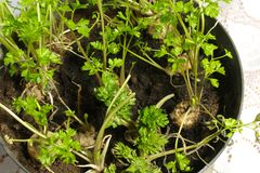 Free Parsley In A Pot Royalty Free Stock Photos - 49061408