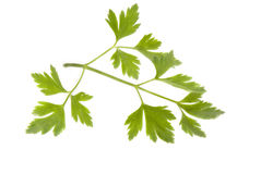 Parsley isolated Stock Images