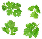 Parsley isolated on white background. Collection Royalty Free Stock Image