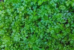 Parsley on the lawn, top view. Royalty Free Stock Photos