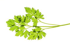 Parsley leaf. One leaf of parsley before white background Stock Photos