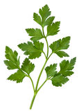 Parsley leaf Stock Photography