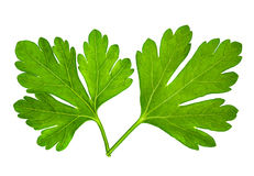 Parsley leaf Stock Image