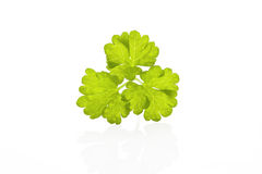 Parsley leaf isolated. Stock Images