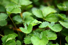 Parsley leaf. Natural parsley leaves in the forest Stock Images