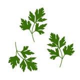 Parsley leaf vector illustration. Green-stuff vector. stock illustration