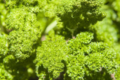 Parsley Leaves. A bunch of fresh grown curly parsley, ready to eat Royalty Free Stock Image