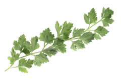 Parsley leaves Royalty Free Stock Photos