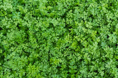 Parsley leaves. Green parsley Leaves in garden Royalty Free Stock Photo