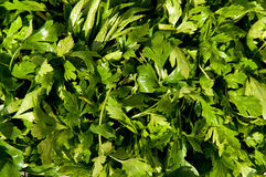 Parsley leaves Stock Photos
