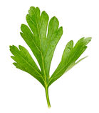 Parsley leaves isolated on white background Stock Photo