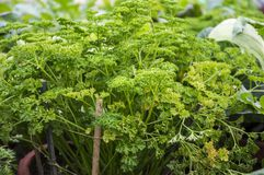 Parsley leaves and plants. In the home garden royalty free stock image