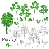 Parsley Leaves  Set Royalty Free Stock Photography