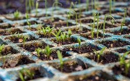 Parsley and leek sprouts on the seedbed. Coming out of the soil royalty free stock photography