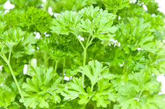 Parsley (macro view) Royalty Free Stock Image