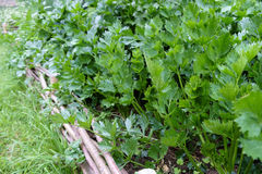 Parsley in medieval style garden stock images