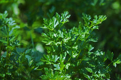 Parsley  in nature. Green tops of parsley  in garden Stock Photos