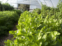 Parsley and other herbs in greenhouse. Parsley and other herbs and plants in greenhouse Stock Photo