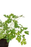 Parsley in a peat pot Stock Photography