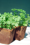 Parsley in peat pots Stock Photos