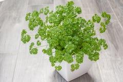 Parsley, Petroselinum crispum. Parsley, garden herb in a white flower pot Stock Image