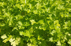 Parsley (Petroselinum hortense) background Stock Image